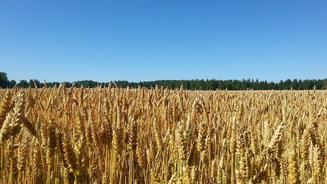 我對如何分辨麥子、稗子有了實際的認識