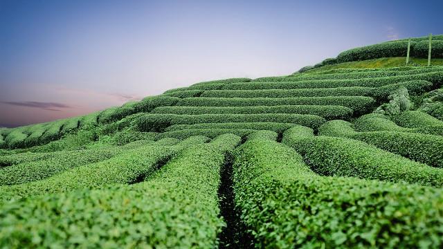茶樹的奇妙功用