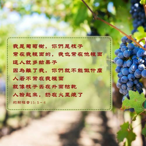 葡萄 結果子 聖經金句圖片