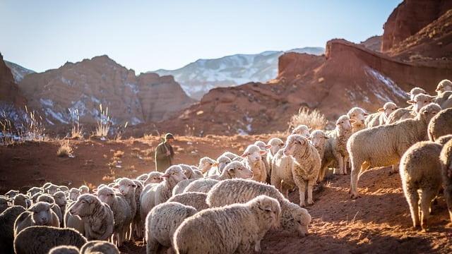 牧羊人,羊群