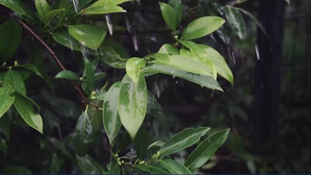下雨,樹葉