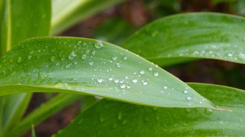葉子,雨珠
