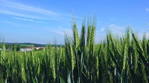 上帝造物的智慧與愛——冬小麥的妙用
