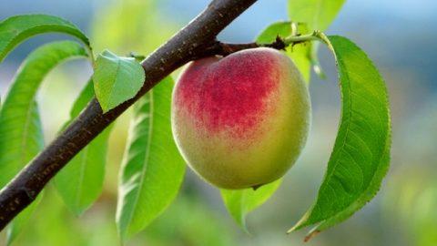 桃子和桃葉