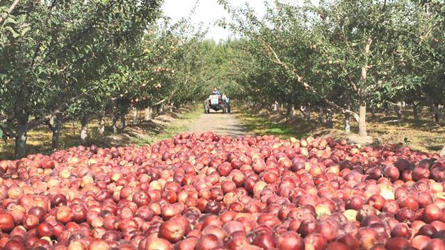 果農豐收了很多蘋果
