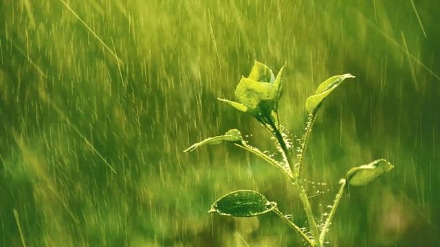 弱小的植物雖經歷雨水的猛烈擊打卻信心百倍地面對彰顯着造物主賜予的生命力量