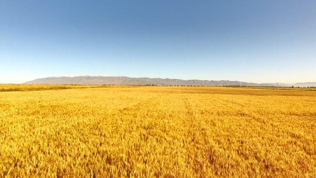 一片成熟的麥田